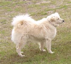 american eskimo dog lab mix friendship farm