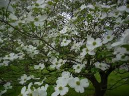 dogwood flowers flower dogwood ncpedia