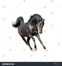black mustang horse black arab horse isolated on white stock photo 128426615