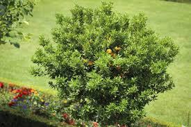 lemon tree understory plants u2013 what will grow under a lemon tree