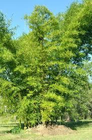 bamboo land nursery and parklands bambusa vulgaris bamboo land nursery qld australia