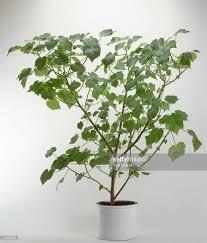 sparmannia africana indoor lime zimmerlinde kamerlinde