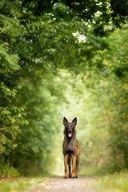 belgian malinois little rock best 10 malinois dog ideas on pinterest belgian malinois