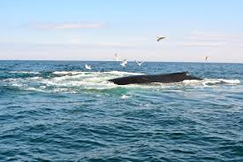 marvelous whales off cape cod part 10 photo courtesy