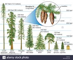 40 meters to feet heights of different conifers stock photo 84972011 alamy
