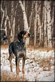 bluetick coonhound decals 69 best hounds images on pinterest animals hound dog and