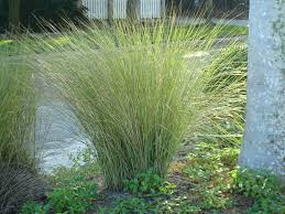 native plants to georgia sand cordgrass for sale wilcox nursery