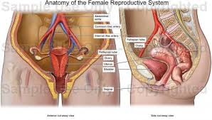 Female Anatomy Image Human Anatomy Diagram Human Anatomy Female Reproductive System
