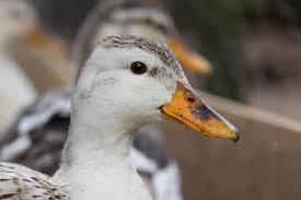 raising ducks duck breeds