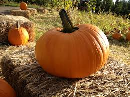 Stanly Lane Napa Pumpkin Patch by Pumpkin Patch Apple Hill Camino Ca Take Me Away Pinterest