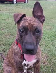 belgian sheepdog nc wilmington nc plott hound meet lola a dog for adoption