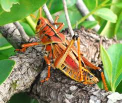 southeastern lubber grasshopper insects pinterest grasshoppers