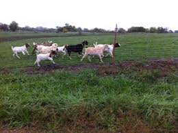 best breed of goat for a backyard farm backyard chickens