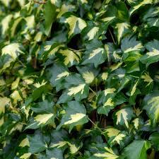 fast growing evergreen shrubs at thompson morgan