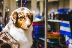 australian shepherd owners photos touring the grooming room of the seattle dog show
