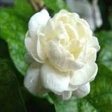 Jasmine Flowers Jasmine Flower Jasmine Flowers Jawahar Nagar Chennai Golden