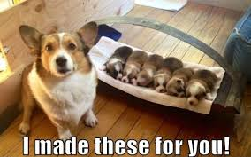 Corgi Puppy Meme - 12 best corgi memes of all time