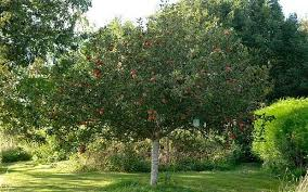 thorny problems is it practical to dig up an apple tree telegraph