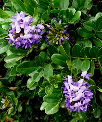 plants native to texas mountain laurel is a central texas favorite