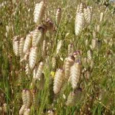 quaking grass seeds briza maxima ornamental grass seed