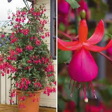 fuchsia u0027fusion u0027 climbing plants van meuwen edible flowers