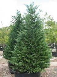 live christmas tree how to care for a living christmas tree