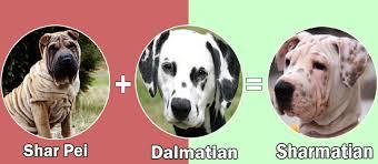 australian shepherd dalmatian mix what happens when you cross dalmatian with other dog breeds