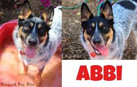 australian shepherd los angeles rescue 21752092 1413978211973087 8556669796795576205 n 800x510 jpg