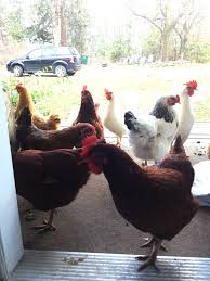 what is this chicken thinking page 157 backyard chickens