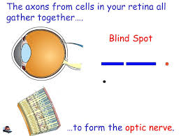 What Is The Blind Spot What Is Your Nervous System Your Visual System Ppt Download