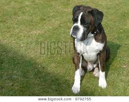 boxer dog umbrella boxer dog image cg9p792755c