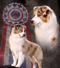 australian shepherd puppies for sale southern california home