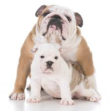 feeding a boxer dog how and when to switch from puppy to dog food blue buffalo