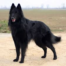 belgian shepherd how much groenendael u2013 black belgian shepherd groenendael pinterest
