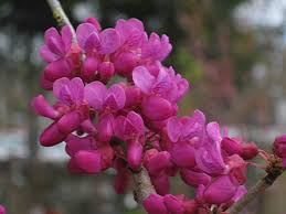 lilacs and redbuds