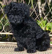 bichon frise qld unusual pets that are legal to own unusual pets