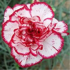 carnation flowers carnation flowers seeds ornamental plants low price carnation