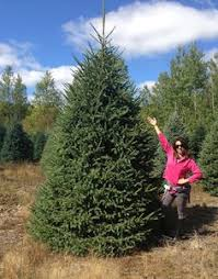 black hill spruce black hills spruce we have 6 in the yard i