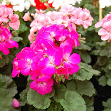 geranium nano deep rose seeds from park seed