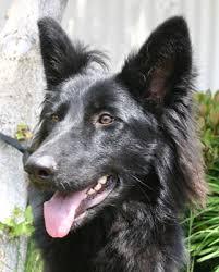 belgian sheepdog lab mix westside german shepherd rescue of los angeles