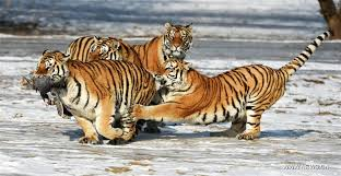 siberian tigers catch at siberian tiger park in china s