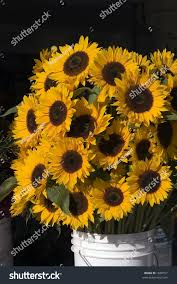 sunflowers for sale large sunflowers sale local farmers stock photo 1830557