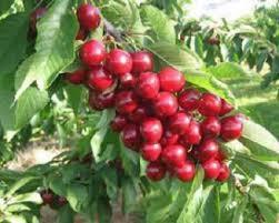 obat asam lambung herbal royal kiraz tidak dijual di apotik