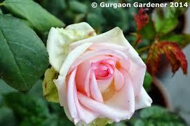 gurgaon gardener indian roses hybrid garden roses gulab