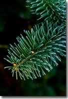 noble fir trees available for delivery in los angeles