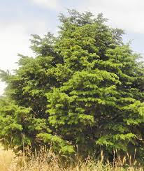 what does wood symbolize ceder wood in the temple god as a gardener