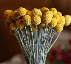 billy balls craspedia drumstick flower billy balls lovejoy farms
