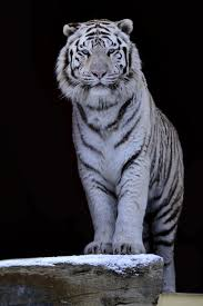 amazing white tiger gif images at best animations