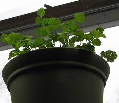 visitors to my indoor herb garden your home kitchen garden