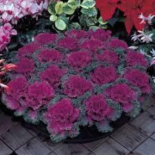 ornamental kale brassica oleracea nagoya ornamental kale